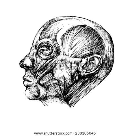 muscles human head drawing vector anatomy stock vector royalty free