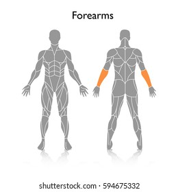 Muscles used in training, vector