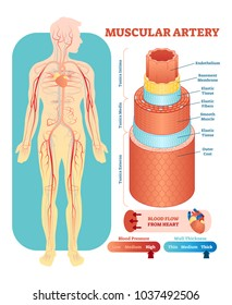 Muscular artery anatomical vector illustration cross section with tunica externa, media and interna. Circulatory system blood vessel diagram scheme. Medical educational information.