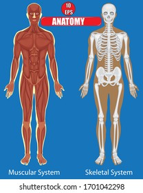 Muscular and skeletal system of human body with blue background.