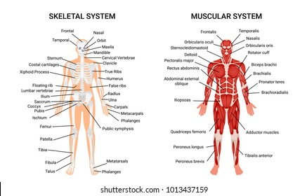 Muscular and skeletal systems anatomy chart complete educative guide poster displaying human figure from front vector illustration
