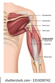 Musculus triceps brachii 3d medical vector illustration on white background, human arm from behind