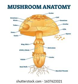 diagram of a mushroom mushroom diagram images  stock photos   vectors shutterstock diagram of a typical mushroom mushroom diagram images  stock photos