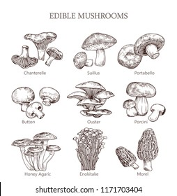Mushroom hand drawn vector illustration. Botanical illustration morel, enokitake, honey agaric, portabello, suillus, chanterelle, porcini, ouster, button. Organic vegetarian product for menu, packing.