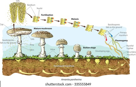 Mushroom life cycle (Amanita Pantherina)