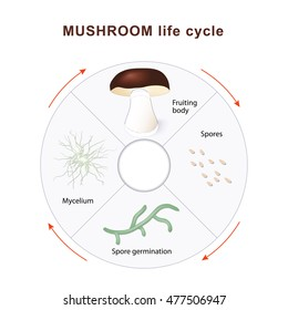 mushroom life cycle. Mushrooms and vegetation. Reproduction fungus. Mycelium vegetative part of a fungus, consisting of a mass of branching, thread-like hyphae. Spore