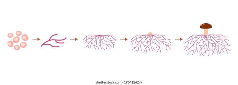 Mushroom life cycle stages, growth mycelium from spore. Spore germination, mycelial expansion and formation hyphal knot. Vector illustration
