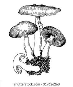 mushroom, mushrooms,  illustration mashroom, vector, drawing