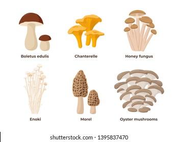 Mushroom set of vector illustrations in flat design isolated on white background. Cep, chanterelle, honey agaric, enoki, morel, oyster mushrooms edible mushrooms, infographic elements.