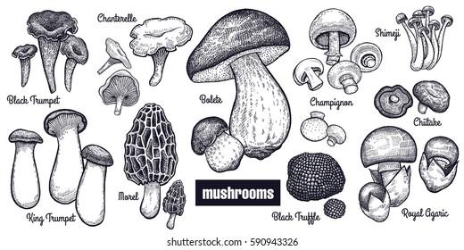 Mushrooms big set. Bolete, Morel, Black Truffle, Royal Agaric, Shimeji, Champignon, Chanterelle, Black Trumpet, King Trumpet black on white background. Style Vintage engraving. Vector illustration art