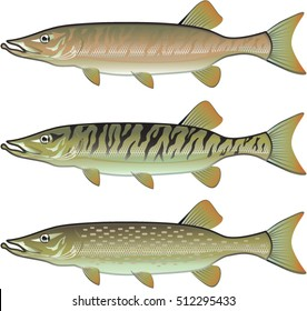 Musky Tiger musky and Northern Pike vector illustration fish predators