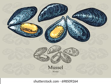 Mussel. Vector illustration with refined details and optimized stroke that allows the image to be used in small sizes (in packaging design, decoration, educational graphics, etc.)