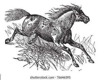 Mustang or Feral Horse, vintage engraving. Old engraved illustration of a Mustang. Trousset encyclopedia.