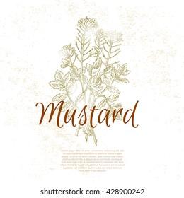 Mustard flower. Kitchen hand-drawn herbs and spices, vintage illustration