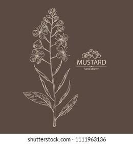 Mustard: plant, mustard flower, leaves and pod. Dijon mustard. Vector hand drawn illustration.