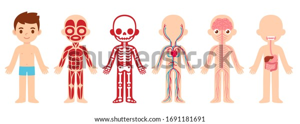 My body, educational anatomy body organ chart for kids. Cute cartoon little boy and his bodily systems: muscular, skeletal, circulatory, nervous and digestive. Isolated vector infographic clip art.