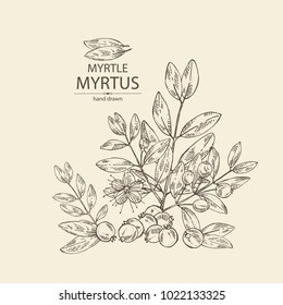 Myrtus, myrtle: myrtus branch with flowers, berries and leaves. Cosmetics and medical plant. Vector hand drawn illustration.