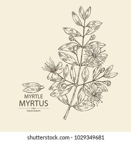 Myrtus, myrtle: myrtus branch with flowers and leaves. Cosmetics and medical plant. Vector hand drawn illustration.