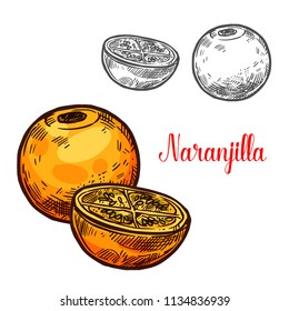 Naranjilla exotic fruit vector sketch. Botanical design of tropical Solanum quitoense or lulo fruit for juice, food or farmer market and agriculture design