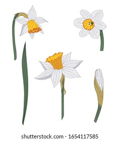 Narcissus. Close-up. Spring flowers. Set of flowers, leaves, bud of narcissus. Multi-colored image. Decor element. Vector illustration.
