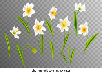 Narcissus. Collection lovely daffodils. Spring flowers for your design Vector realistic flowers. On a transparent background.
