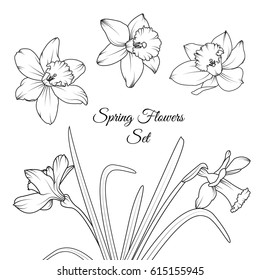 Narcissus daffodil spring flowers reusable isolated elements template set. Black and white vector design illustration. Detailed outline sketch drawing. Bouquet garland foliage composition.