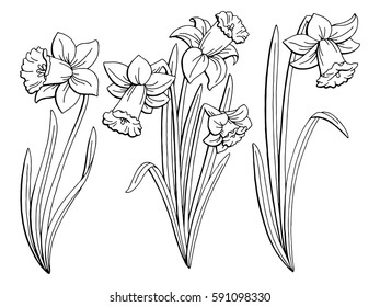 Narcissus flower graphic black white isolated sketch illustration vector