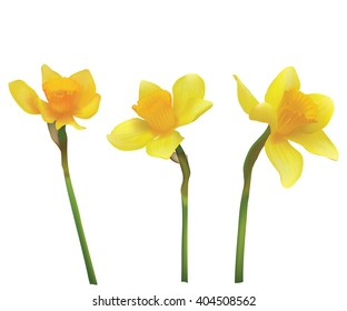 Narcissus. Vector realistic flowers. On a white background.