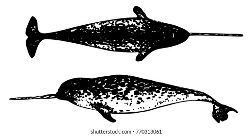 Narwhal top and side view vector drawing. Black and white illustration of sea whale