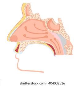 Nasal cavity. Vector illustration of human nose anatomy