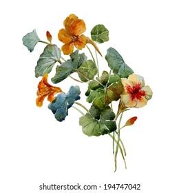 nasturtium, watercolor, drawing