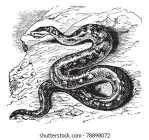 Natal rock python, Python sebae natalensis, Southern African python, Heleionomus variegates, Hortulia natalensis, Python natalensis, vintage engraving. Trousset encyclopedia (1886 - 1891)