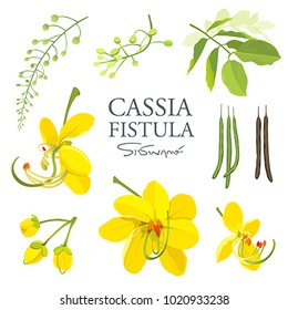 National flower of Thailand, Cassia Fistula, beautiful Yellow Thai flower collections on white background, vector illustration