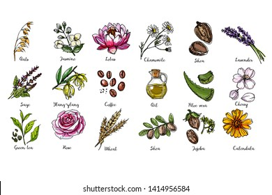 Natural cosmetics and medicine. A set of herbs and flowers painted black line on a white background. Vector sketch of botany. Chamomile, shea, lavander, oil, aloe vera, cherry, jojoba, calendula