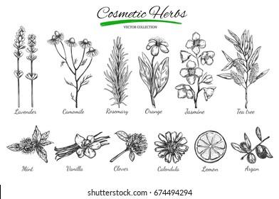 Natural cosmetics. Vector hand drawn.Isolated objects on white. Herbs and flowers. Herbal  Medicine.  Lavender. Camomile.Rosemary.Orange.Jasmine.Tea tree.Mint. Vanilla. Clover. Calendula. Lemon. Argan