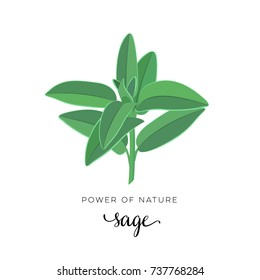 Natural herbs. Sage, stem with leaves. Vector illustration cartoon flat icon isolated on white.