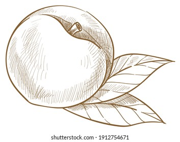 Natural and organic apricot or sweet peach. Isolated icon of ripe berry with leaves. Harvesting and production, fresh assortment in market or shop. Monochrome sketch outline, vector in flat style