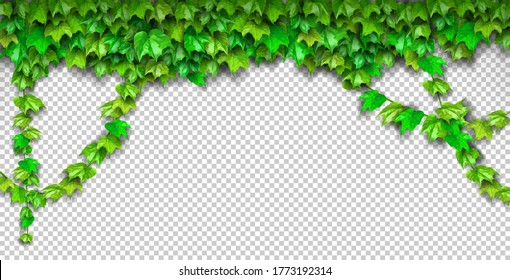 Natural realistic 3d green grape leaf, ivy wall isolated on transparent background. Eco modern style, can be used on flyers, banners web. Nature wallpaper fresh green leaf plant. Vector illustration.