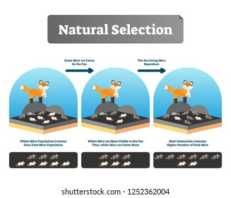 Natural selection vector illustration. Explained scheme with life evolution. Selective organic environment process with all species and humans. Educational Darwin theory example and mutation advantage