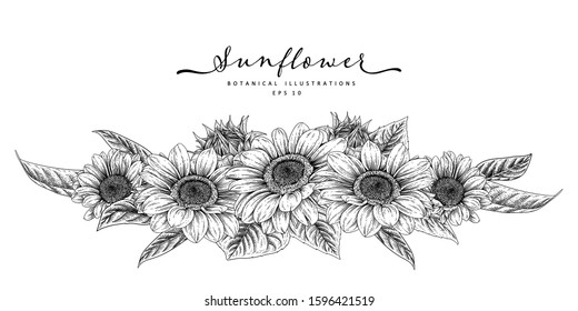 Nature design elements. Black and white sunflower botanical illustration. Vintage floral clip art hand drawn group. Flowers drawing and sketch with line-art Isolated on white background.