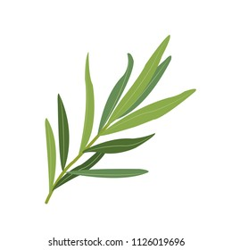 Nature organic vegetable Tarragon, healthy vector colorful food vegetable spice ingredient.
