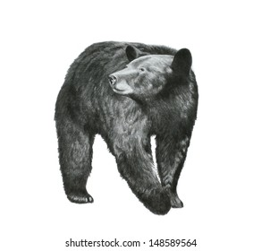 Nature or wildlife vector art sketch of a black bear that is a dangerous animal from North America in a detailed hand drawn pencil illustration that is isolated on a white background.