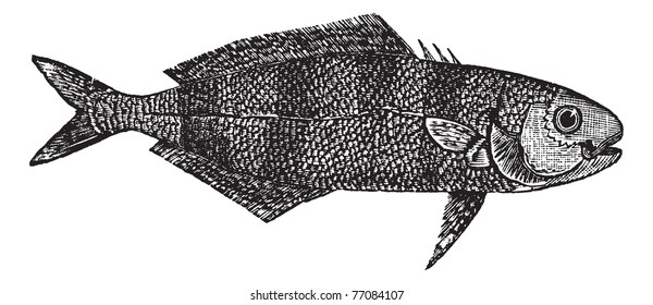 Naucrates Ductor or Pilot fish vintage engraving. Old engraved illustration of Naucrates ductor. Trousset encyclopedia.