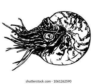 Nautilus black and white vector illustration. Marine mollusc with tentacles. Floating sailor sketch