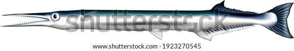 「ニードルフィッシュ」イラスト、ベクター画像EPS形式
