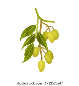 Neem Plant with Leafy Branch and Green Oily Fruits Vector Illustration