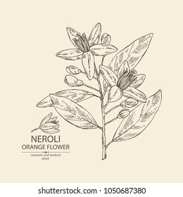 Neroli, orange flower: orange flowering branch, leaves, neroli flowers and bud. Cosmetic, perfumery and medical plant. Vector hand drawn illustration