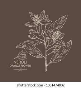 Neroli, orange flower: orange flowering branch, leaves, neroli flowers and bud. Cosmetic, perfumery and medical plant. Vector hand drawn illustration