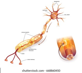 Nerve cell anatomy and Myelin sheath that surrounds the axon close-up detailed anatomy illustration