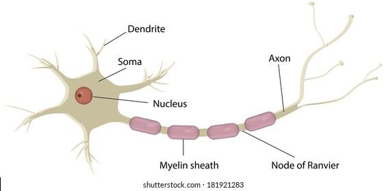Nerve Cell Neuron Labeled Diagram Stock Illustration 181921289 ...